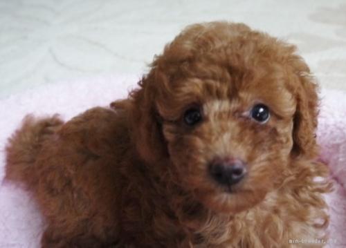 トイプードルの子犬(ID:1251811033)の2枚目の写真/更新日:2017-07-17