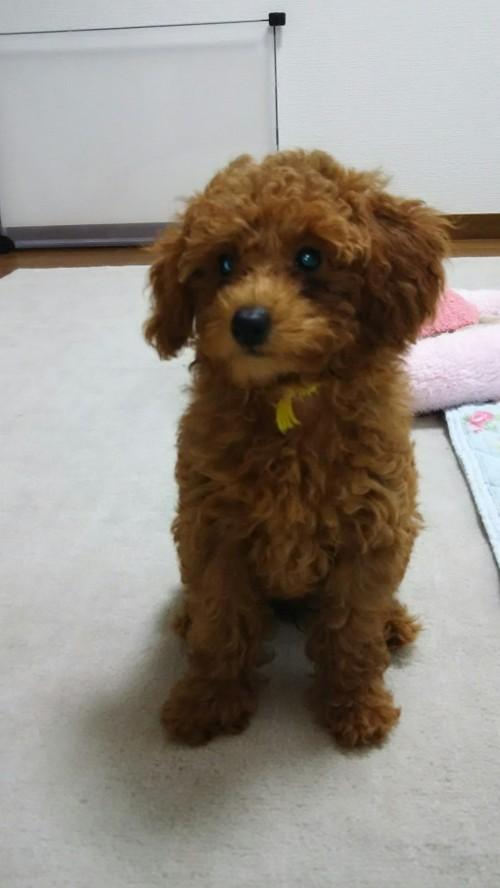 トイプードルの子犬(ID:1251811034)の2枚目の写真/更新日:2017-10-03