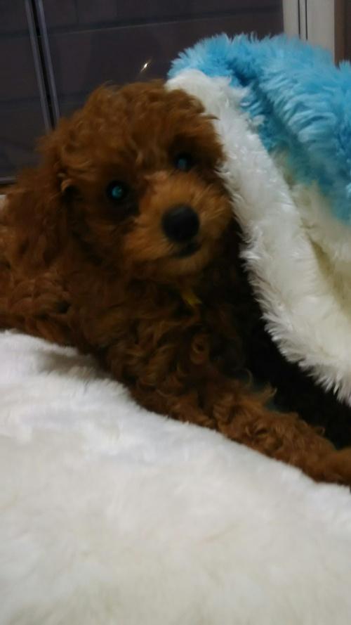 トイプードルの子犬(ID:1251811034)の3枚目の写真/更新日:2017-10-03