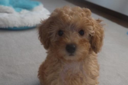 トイプードルの子犬(ID:1251811036)の2枚目の写真/更新日:2017-10-03
