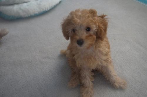 トイプードルの子犬(ID:1251811036)の3枚目の写真/更新日:2017-10-03