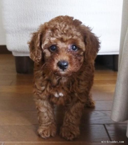 トイプードルの子犬(ID:1251811037)の1枚目の写真/更新日:2017-11-06