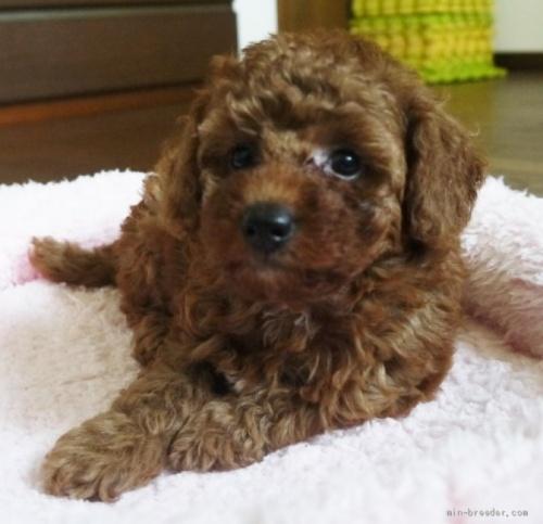 トイプードルの子犬(ID:1251811037)の2枚目の写真/更新日:2017-11-06