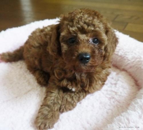 トイプードルの子犬(ID:1251811037)の3枚目の写真/更新日:2017-11-06
