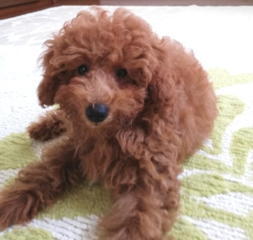 トイプードルの子犬(ID:1251811038)の1枚目の写真/更新日:2017-11-20