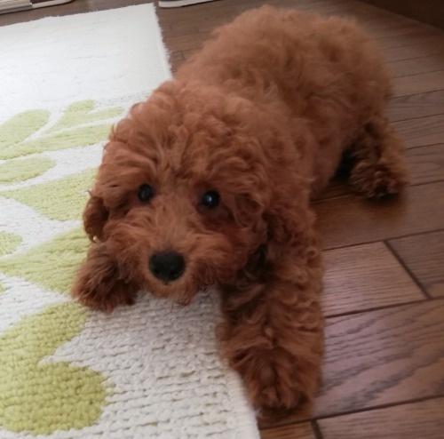 トイプードルの子犬(ID:1251811038)の2枚目の写真/更新日:2017-11-20