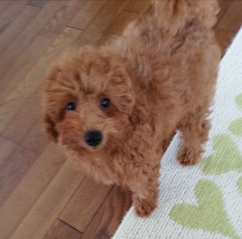 トイプードルの子犬(ID:1251811038)の3枚目の写真/更新日:2017-11-20