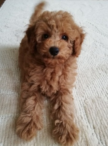 トイプードルの子犬(ID:1251811039)の1枚目の写真/更新日:2017-11-20