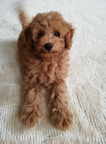 トイプードルの子犬(ID:1251811039)の3枚目の写真/更新日:2017-11-20