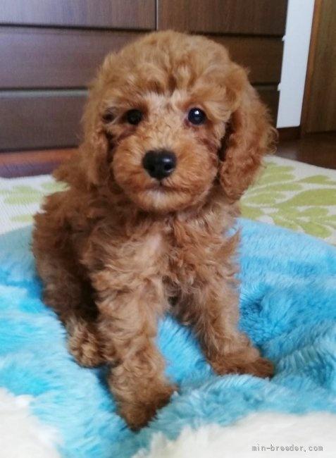 トイプードルの子犬(ID:1251811042)の1枚目の写真/更新日:2018-02-17