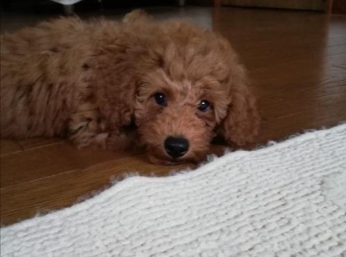 トイプードルの子犬(ID:1251811042)の2枚目の写真/更新日:2018-02-17