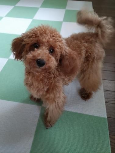 トイプードルの子犬(ID:1251811044)の1枚目の写真/更新日:2018-05-14