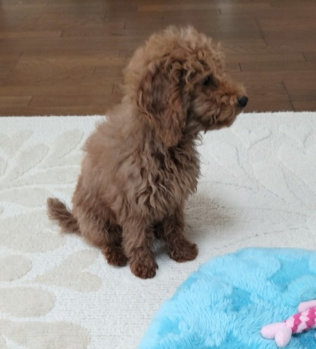 トイプードルの子犬(ID:1251811046)の3枚目の写真/更新日:2018-06-24