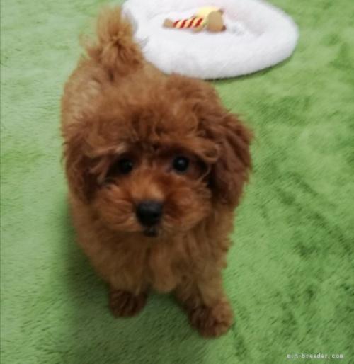 トイプードルの子犬(ID:1251811047)の1枚目の写真/更新日:2018-06-29