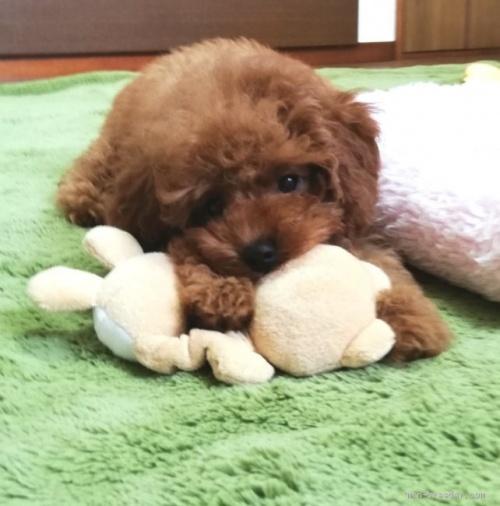 トイプードルの子犬(ID:1251811047)の2枚目の写真/更新日:2018-06-15