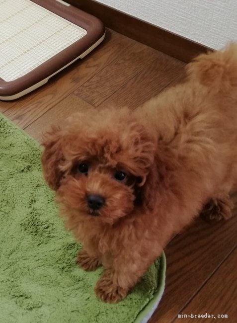 トイプードルの子犬(ID:1251811047)の3枚目の写真/更新日:2018-06-29