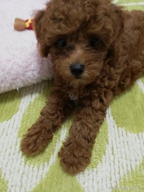 トイプードルの子犬(ID:1251811048)の1枚目の写真/更新日:2018-07-24