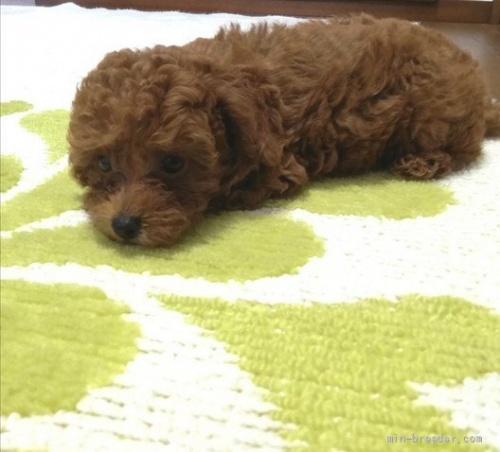 トイプードルの子犬(ID:1251811048)の2枚目の写真/更新日:2018-07-24