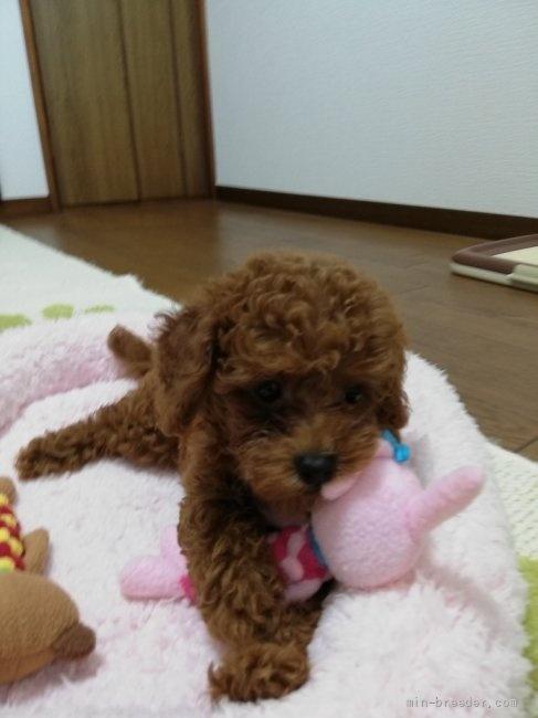 トイプードルの子犬(ID:1251811048)の3枚目の写真/更新日:2018-07-24