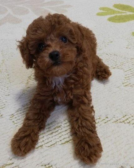 トイプードルの子犬(ID:1251811048)の4枚目の写真/更新日:2021-10-10