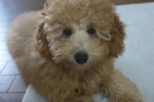 トイプードルの子犬(ID:1251811050)の1枚目の写真/更新日:2018-11-25