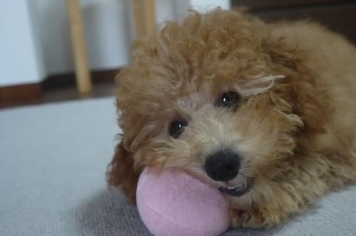 トイプードルの子犬(ID:1251811050)の2枚目の写真/更新日:2018-11-25