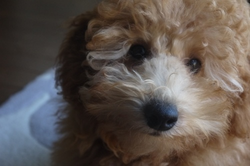 トイプードルの子犬(ID:1251811050)の3枚目の写真/更新日:2018-11-25