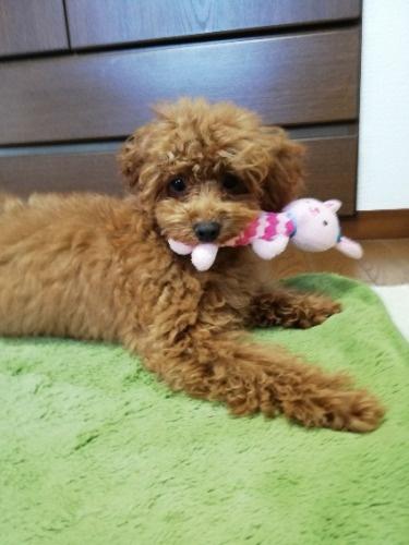 トイプードルの子犬(ID:1251811051)の2枚目の写真/更新日:2021-10-25