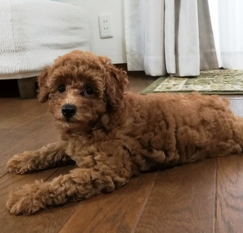 トイプードルの子犬(ID:1251811056)の2枚目の写真/更新日:2020-09-12