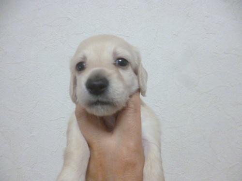 ミニチュアダックスフンド(ロング)の子犬(ID:1252311001)の1枚目の写真/更新日:2018-07-09