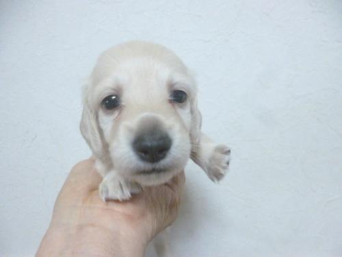 ミニチュアダックスフンド(ロング)の子犬(ID:1252311001)の2枚目の写真/更新日:2018-07-09