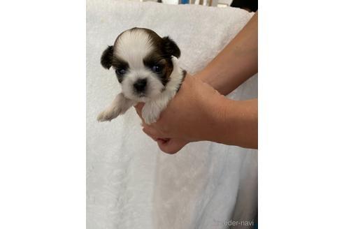 シーズーの子犬(ID:1252311002)の1枚目の写真/更新日:2018-08-14