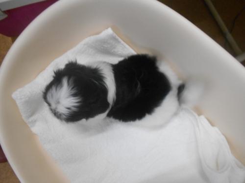 シーズーの子犬(ID:1252311004)の3枚目の写真/更新日:2018-10-12