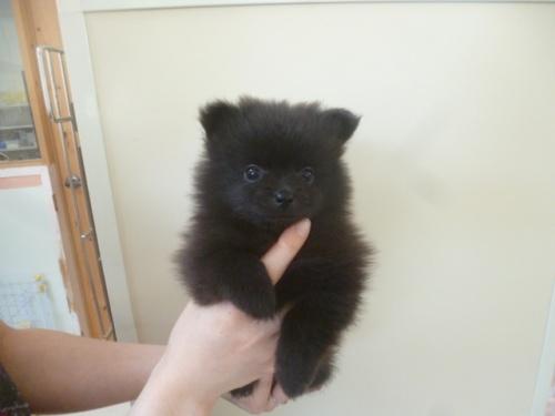 ポメラニアンの子犬(ID:1252311006)の1枚目の写真/更新日:2018-06-18