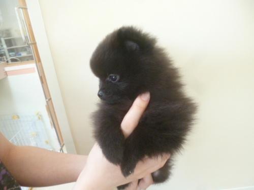ポメラニアンの子犬(ID:1252311006)の4枚目の写真/更新日:2018-06-18