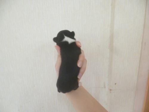 チワワ(ロング)の子犬(ID:1252311009)の4枚目の写真/更新日:2018-08-14