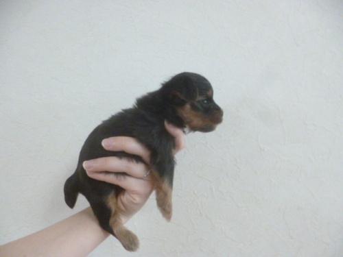 ヨークシャーテリアの子犬(ID:1252311014)の3枚目の写真/更新日:2018-08-18