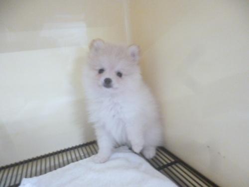 ポメラニアンの子犬(ID:1252311020)の1枚目の写真/更新日:2018-10-12