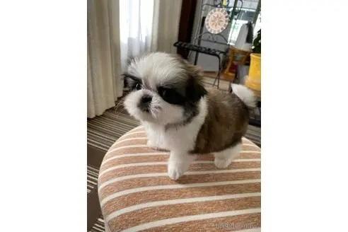 シーズーの子犬(ID:1252311023)の3枚目の写真/更新日:2021-10-06