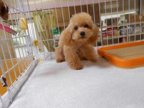 トイプードルの子犬(ID:1252311025)の1枚目の写真/更新日:2018-12-07