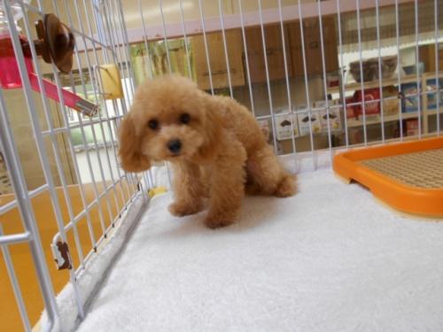 トイプードルの子犬(ID:1252311025)の2枚目の写真/更新日:2018-12-07