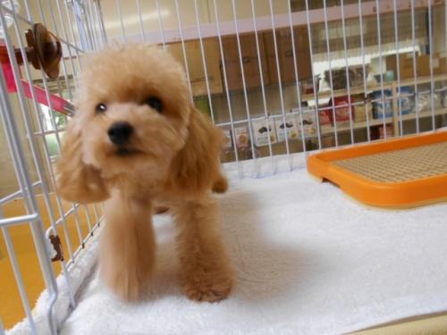 トイプードルの子犬(ID:1252311025)の3枚目の写真/更新日:2018-12-07