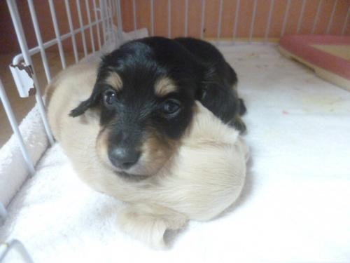 ミニチュアダックスフンド(ロング)の子犬(ID:1252311026)の1枚目の写真/更新日:2018-07-09