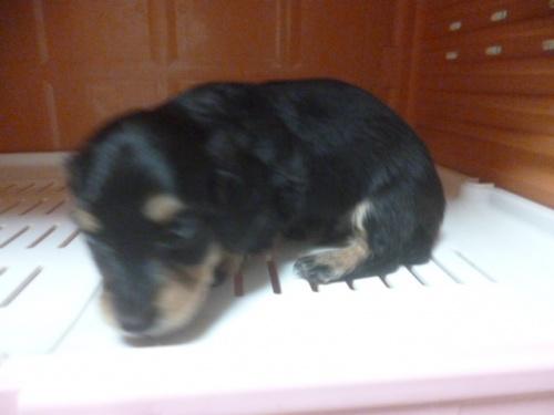 ミニチュアダックスフンド(ロング)の子犬(ID:1252311026)の2枚目の写真/更新日:2018-07-09
