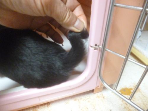 ミニチュアダックスフンド(ロング)の子犬(ID:1252311026)の3枚目の写真/更新日:2018-07-09