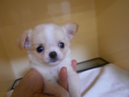 チワワ(ロング)の子犬(ID:1252311027)の1枚目の写真/更新日:2019-09-06