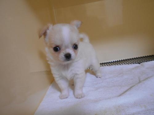 チワワ(ロング)の子犬(ID:1252311027)の2枚目の写真/更新日:2019-09-06