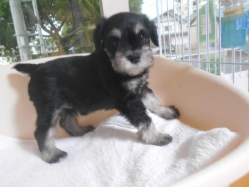 ミニチュアシュナウザーの子犬(ID:1252311030)の2枚目の写真/更新日:2020-09-05