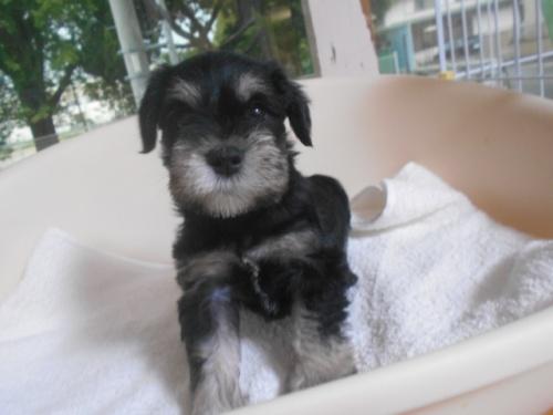 ミニチュアシュナウザーの子犬(ID:1252311030)の3枚目の写真/更新日:2020-09-05