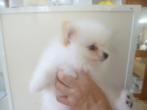 ポメラニアンの子犬(ID:1252311036)の3枚目の写真/更新日:2018-10-12